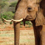 Veel gestelde vragen olifant