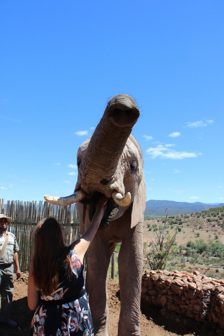 Fruit geven aan de olifant: olifanten interactie